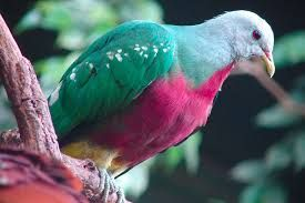 fruit dove pictures