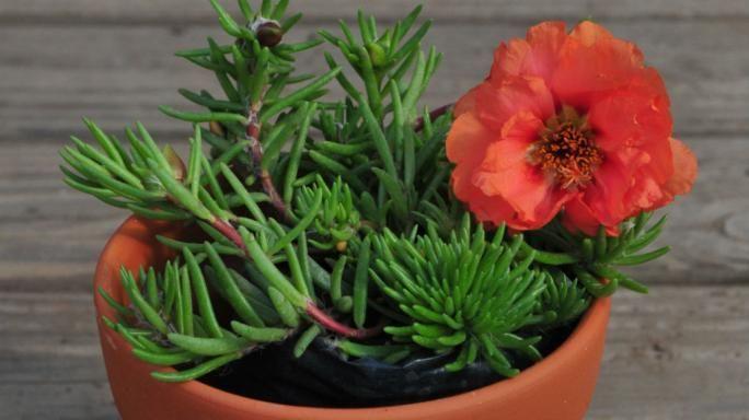 Bignonia naranja reproduccion asexual de las plantas