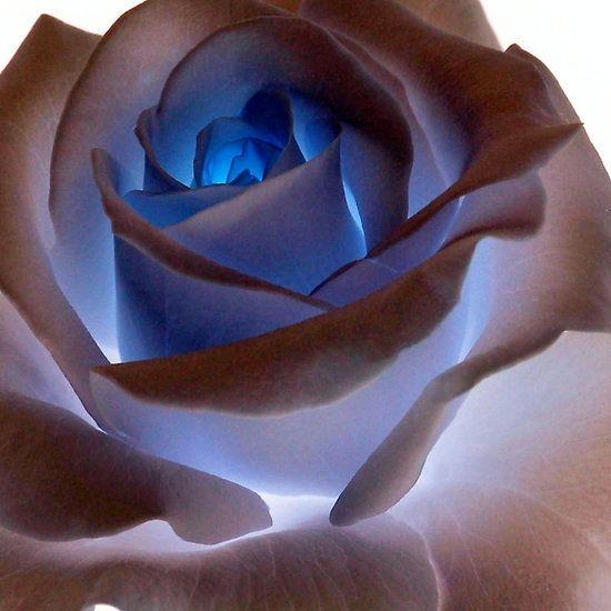 Heartglow Rose