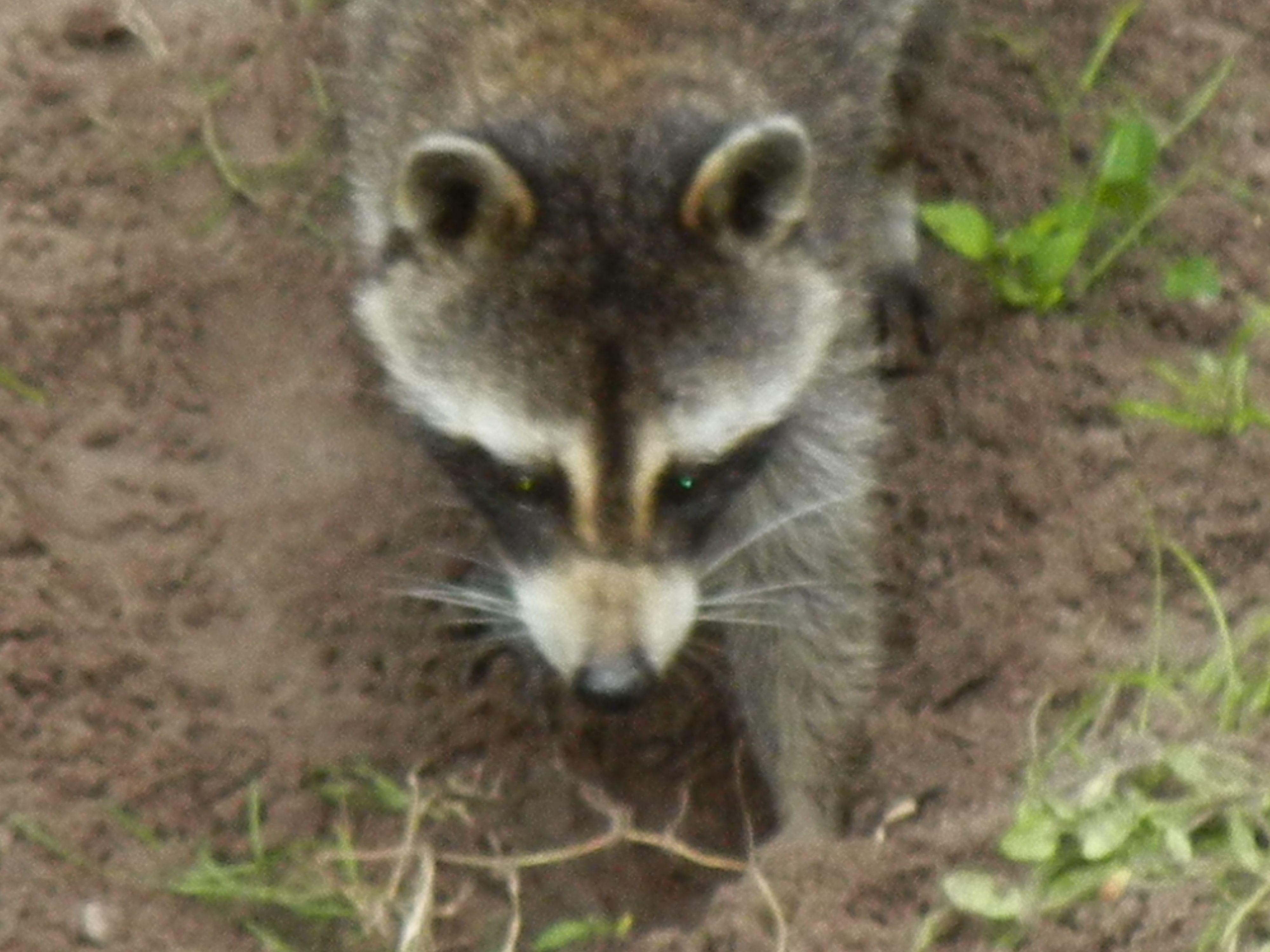 not a nice raccoon | pond | Pinterest | Raccoons