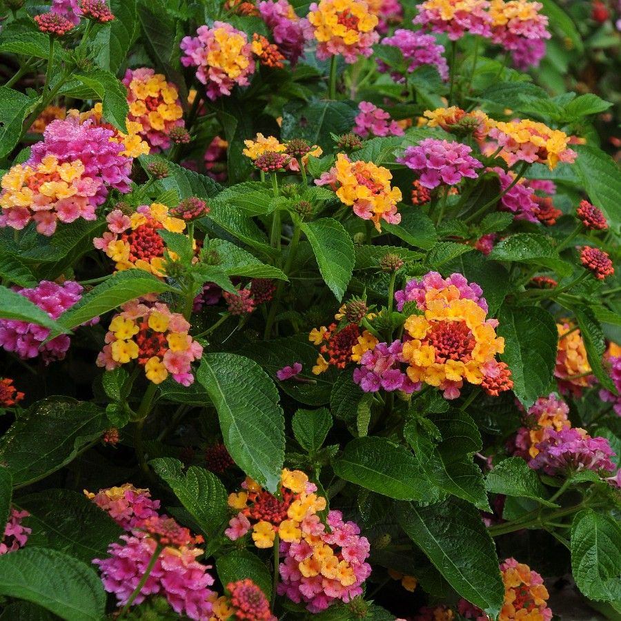 Lantana Lucky Sunrise Rose 5 Large Plug Plants Plant Nursery Lantana Plants