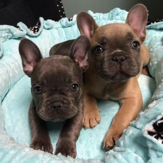 French Bulldogs For Sale Located In Utah Find Us On Facebook At