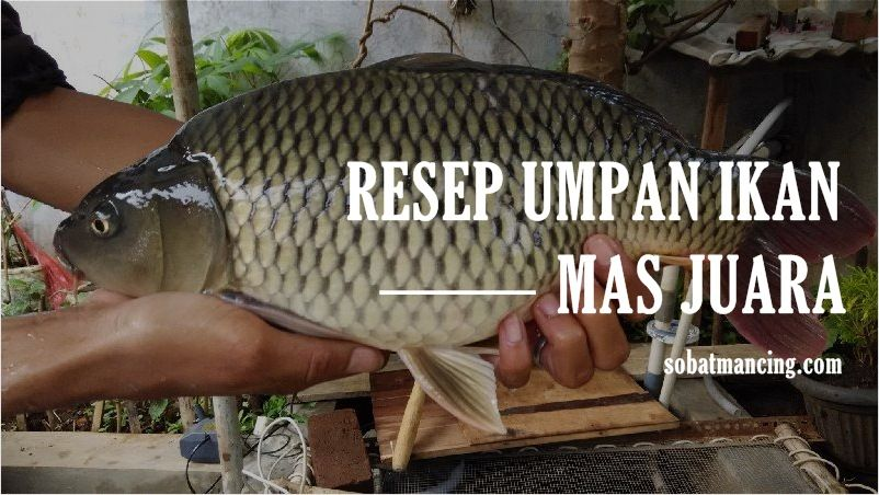 Resep Umpan Ikan Mas Juara Sampai Neter Terus Ikan Ikan Mas Juara