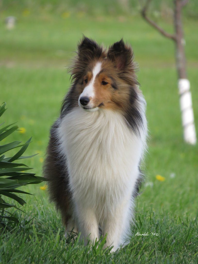 Welcome To Aberdale Shelties Quality Breeder Of Registered
