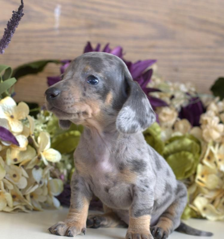 Dachshund Puppies For Sale Amp Miniature Puppy Down Home