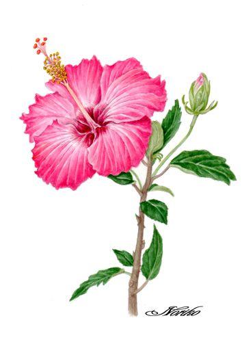 Botanical Art Watercolors Hibiscus Botanical Art Hibiscus Drawing Flower Painting