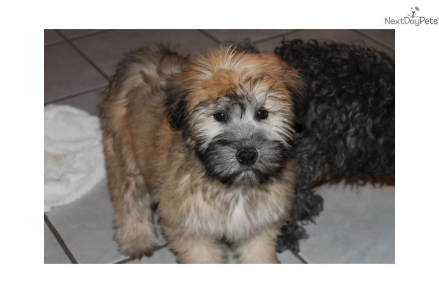 Gorgeous Akc Female Wheaten Soft Coated Wheaten Terrier Wheaten Terrier Wheaten Terrier Puppy