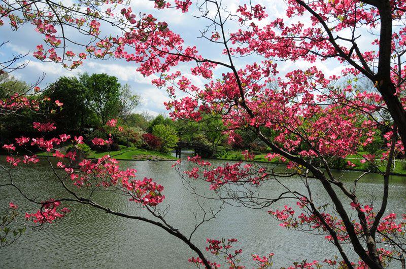 Flowering Red Dogwood Flowering Trees Red Dogwood Missouri Botanical Garden