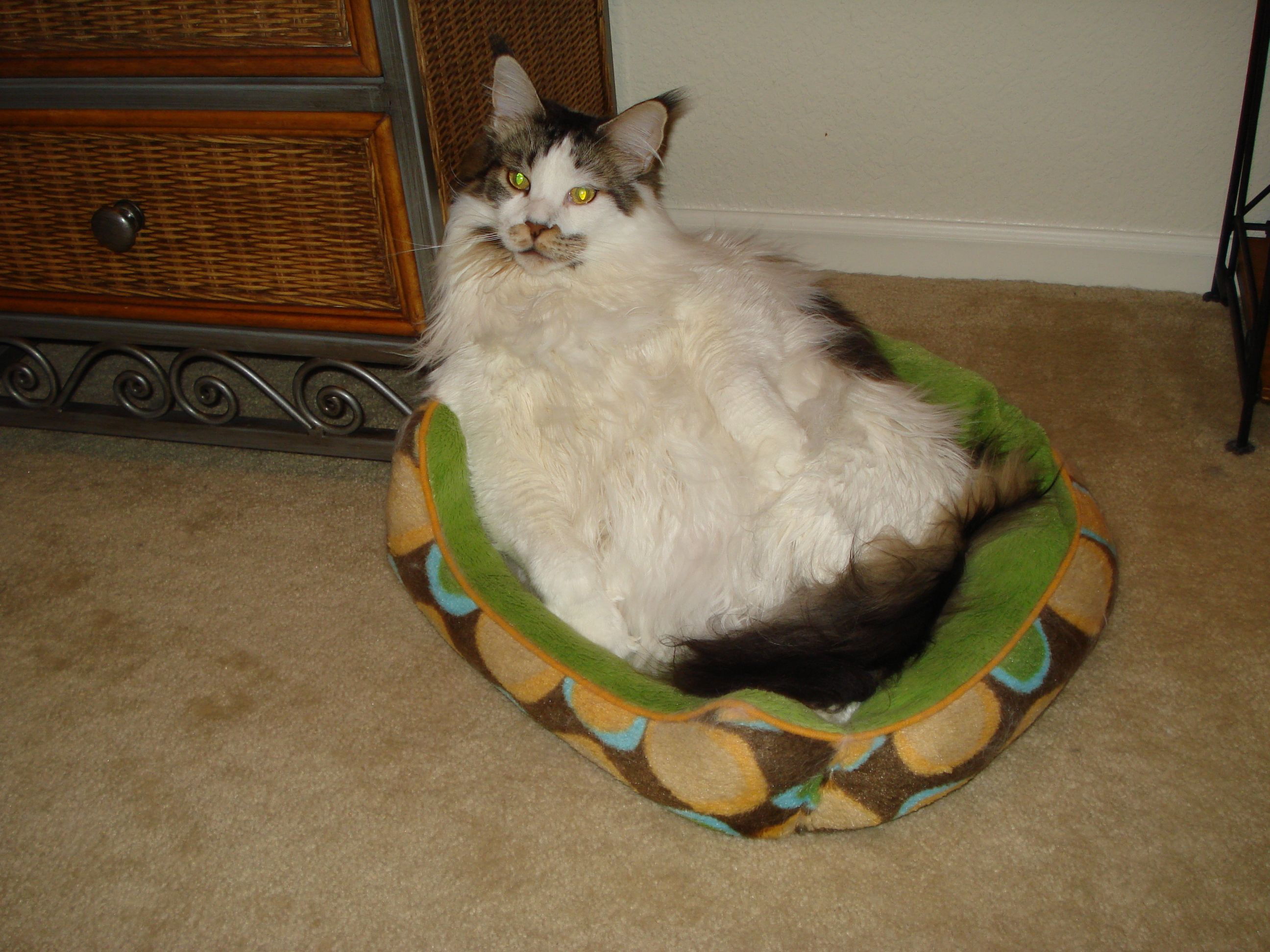 Maine Coons are awesome cats... really big breed and lots of fun!