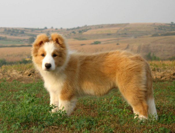 Australian Red Border Collie Puppy Okis Pack Red Border Collie