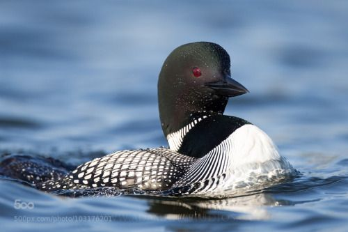 Loon Amazing how these birds sound | BIRDS: Waterfowl