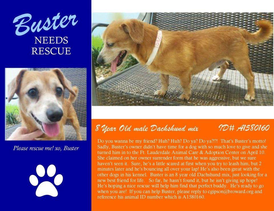 Global Dachshund X Adopt Buster Dachshund Mix Dog Adoption Dogs Hound Breeds