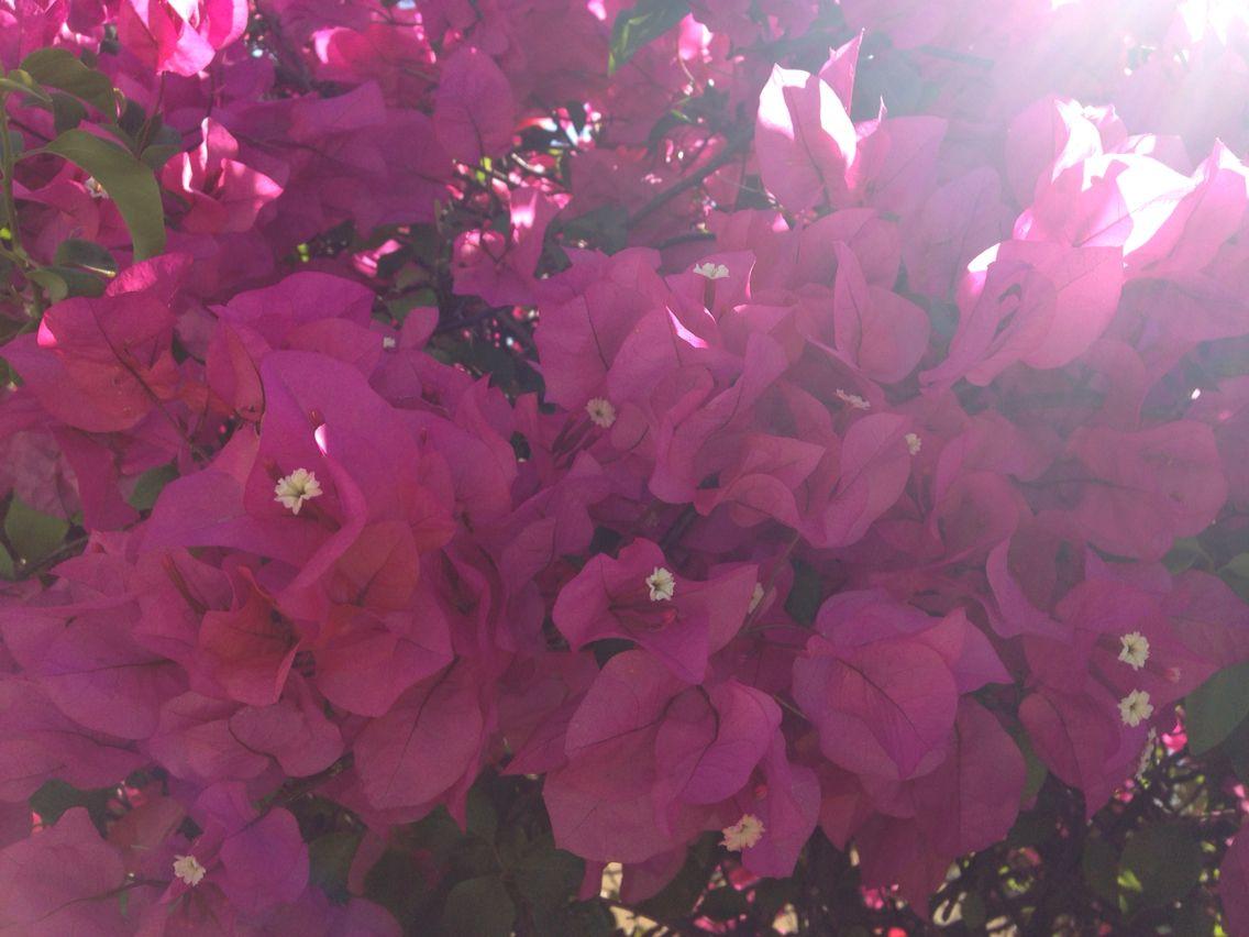 Pink bougainvillea  has bloomed...
