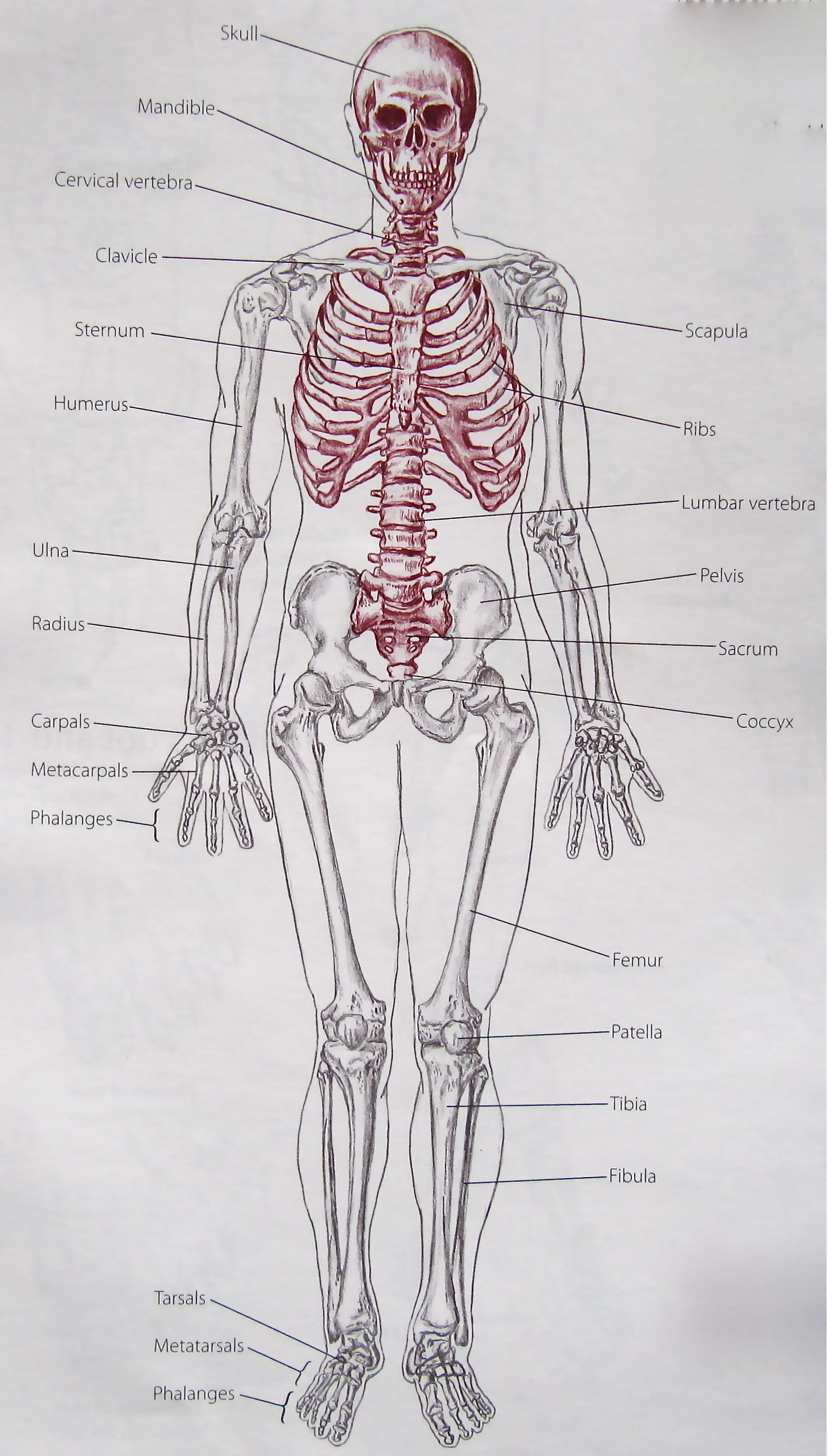 Notes On Anatomy And Physiology Learning With The Hand And Elbow