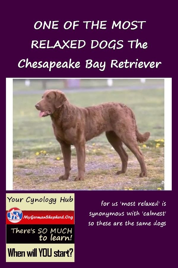 One Of The Most Relaxed Dogs The Chesapeake Bay Retriever