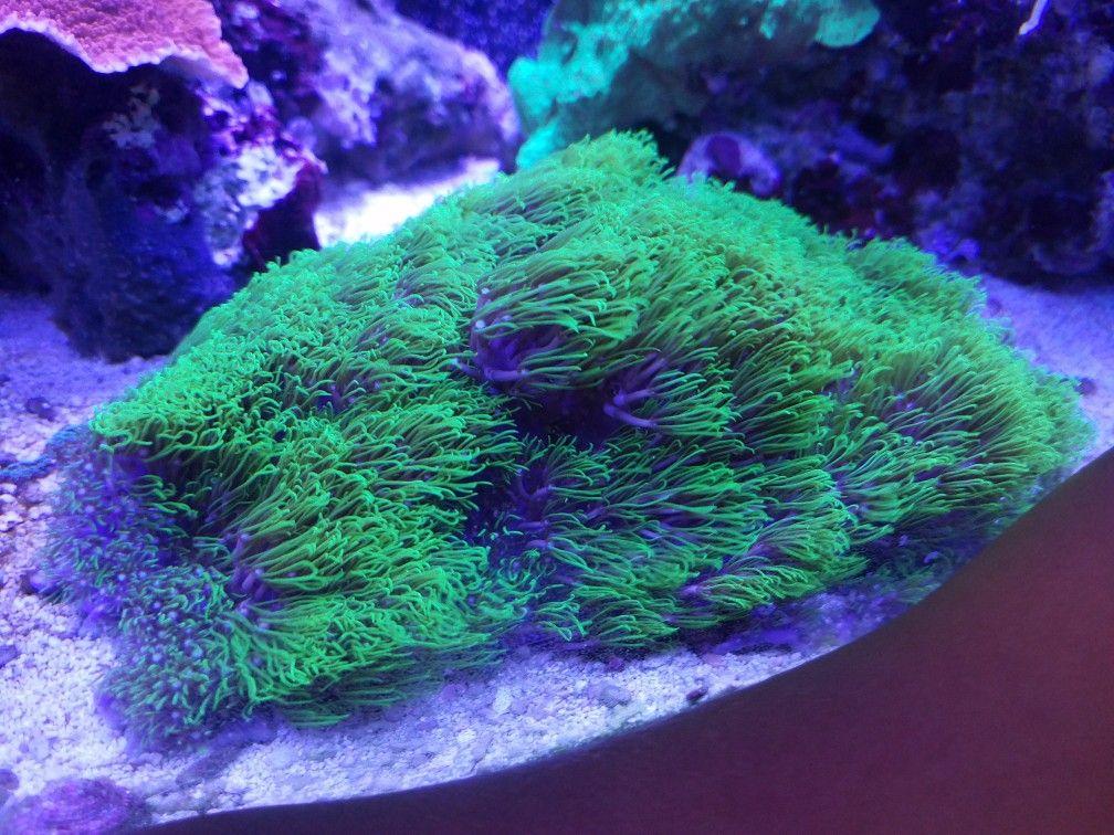 Green Star Polyp Gsp Fish Tank Reef Aquarium Salt And Water