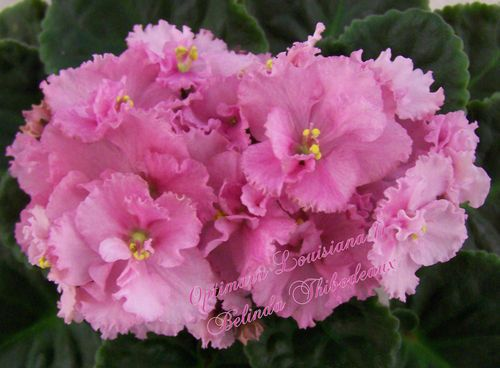 African Violet Plant Optimara Louisiana II | eBay Optimara Louisiana II (6959) 11/19/1988 (Holtkamp) Single-semidouble light pink two-tone/darker eye, variable darker edge. Medium green, plain, heart-shaped to ovate, hairy. Standard
