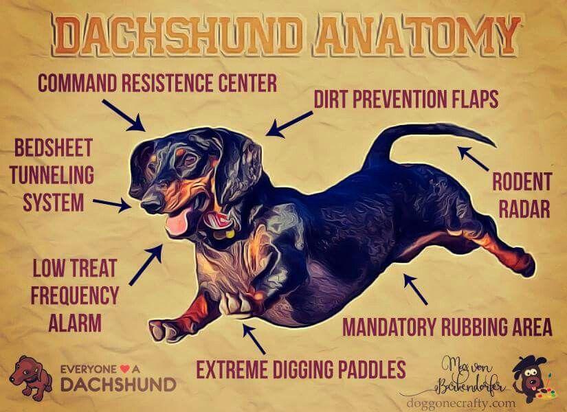 Dachshund Anatomy Dachshund Puppies Dachshund