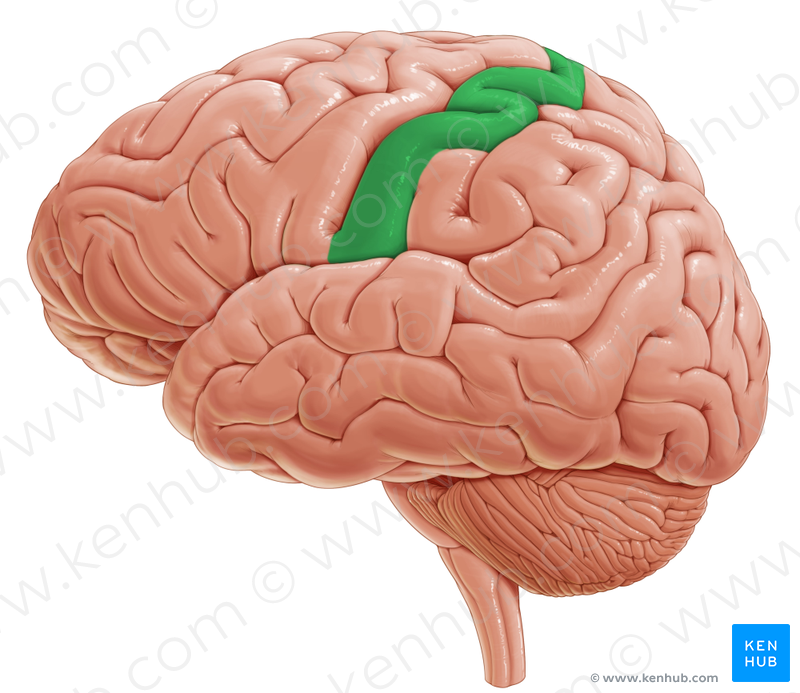Postcentral Gyrus Postcentralnaya Izvilina Anatomy How To Study Anatomy Occipital Lobe This video series is something special. postcentral gyrus postcentralnaya