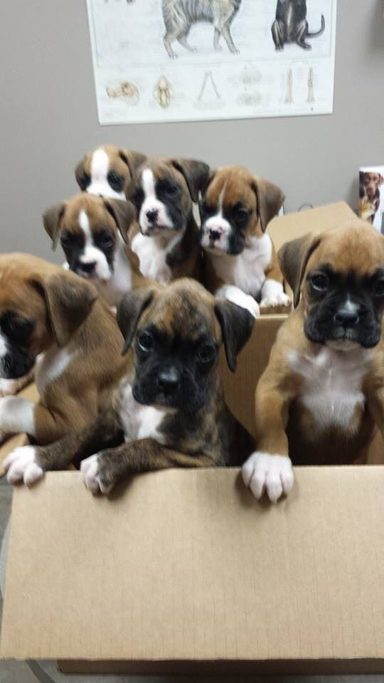 Box Of Boxers I Can T Wait To Have A Litter Of These Babies With Images Boxer Dogs Boxer Love Boxer Puppies