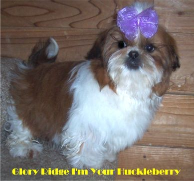 Previous Stud Dog At Glory Ridge Home Grown Sire Of Cupid