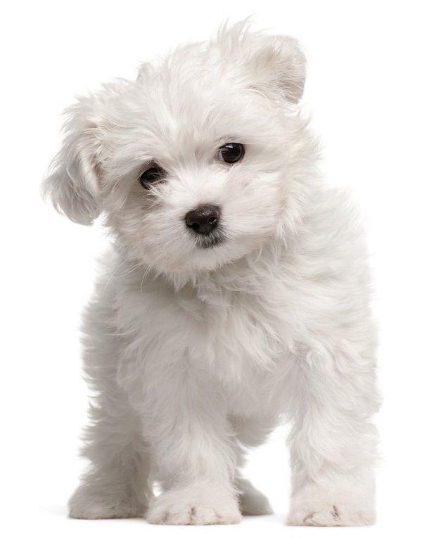Small white dog breeds Maltese   Dogs World   Pinterest   Puppys ...