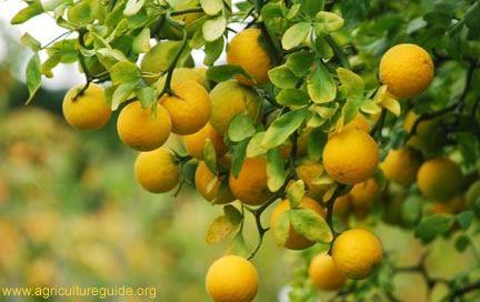 I Miss Walking Through The Orange Grove Just To Get 2 Huge Lemon Trees
