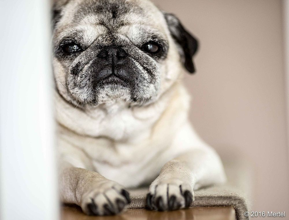 Senior Pug But In My Eyes They Are Just As Cute As A Puppy And