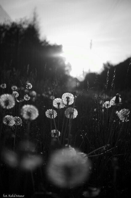 Black And White Photography Dandelions Fields