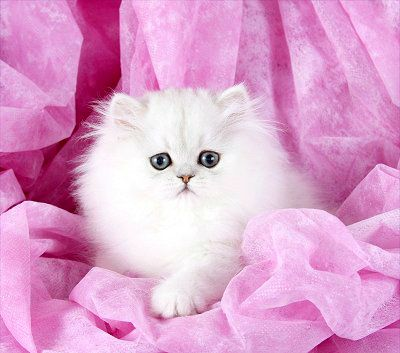 Persian Kitten Prices Prices Of Persian Kittens Kittens Cutest