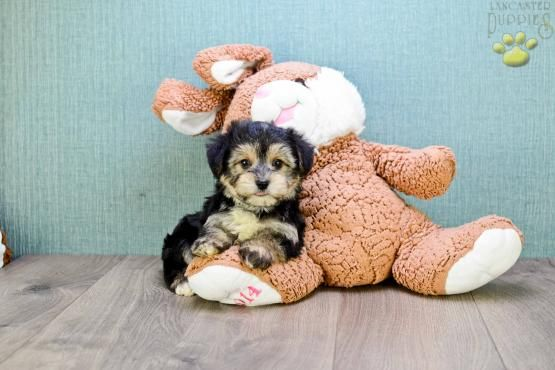 Teacup Sophie Morkie Puppy For Sale In Johnstown Oh Lancaster Puppies Morkie Puppies For Sale Morkie Puppies Puppies For Sale