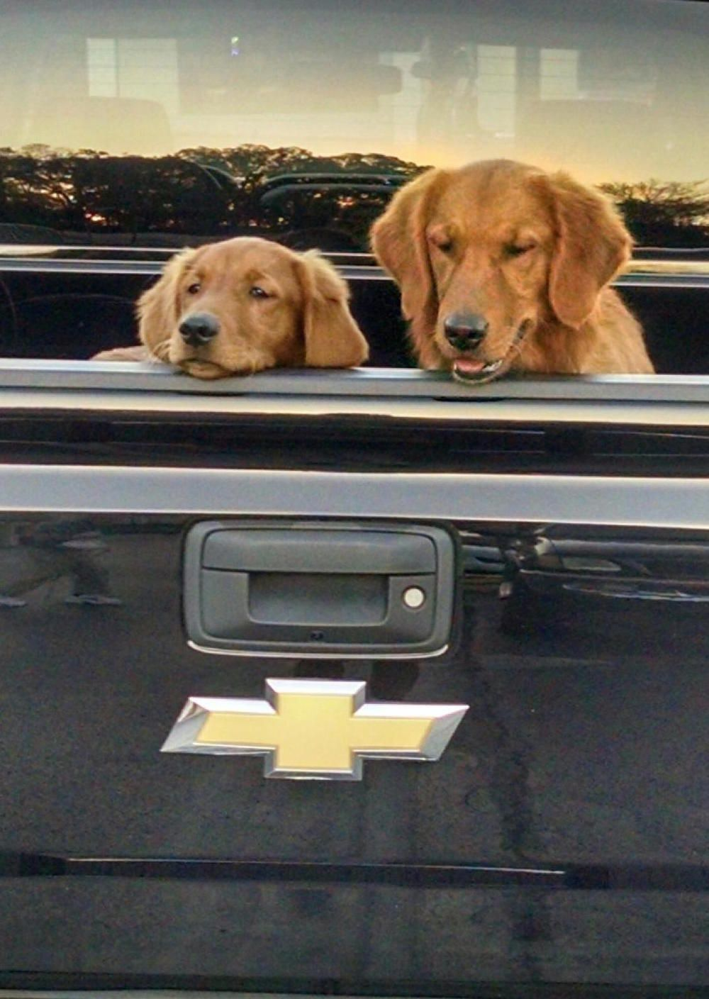 Top Quality Red Golden Retrievers In Nashville Tennessee