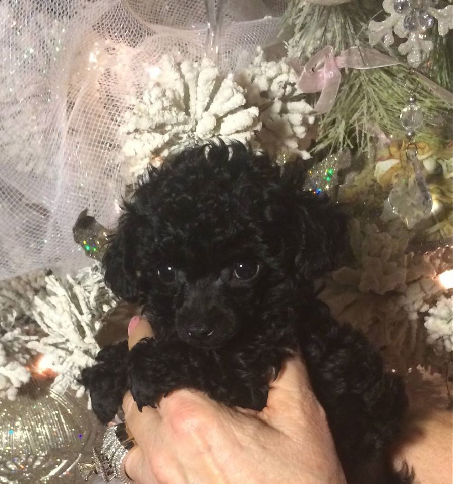 Beautiful Black Teacup Poodles Puppies For Sale In Texas 254 434