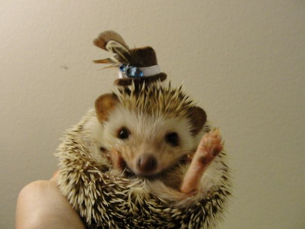 How To Dress A Hedgehog For Halloween Cute Animals Cute Hedgehog Animals