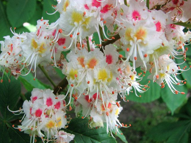 Horse chestnut tree blossoms horse flowers and gardens horse chestnut tree blossomswhere i grew up we have a variety with entirely deep mightylinksfo
