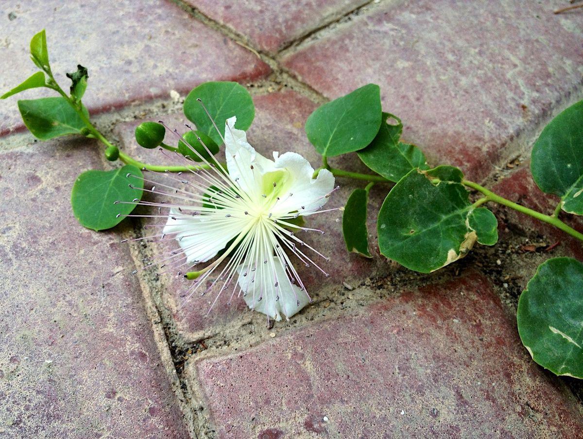 Câpres et fleur de câpre