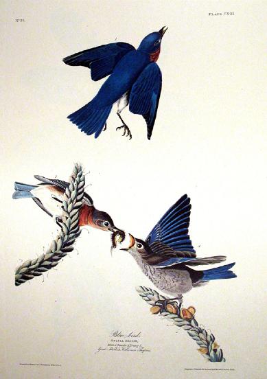 John James Audubon's Birds of America (1840-1844)