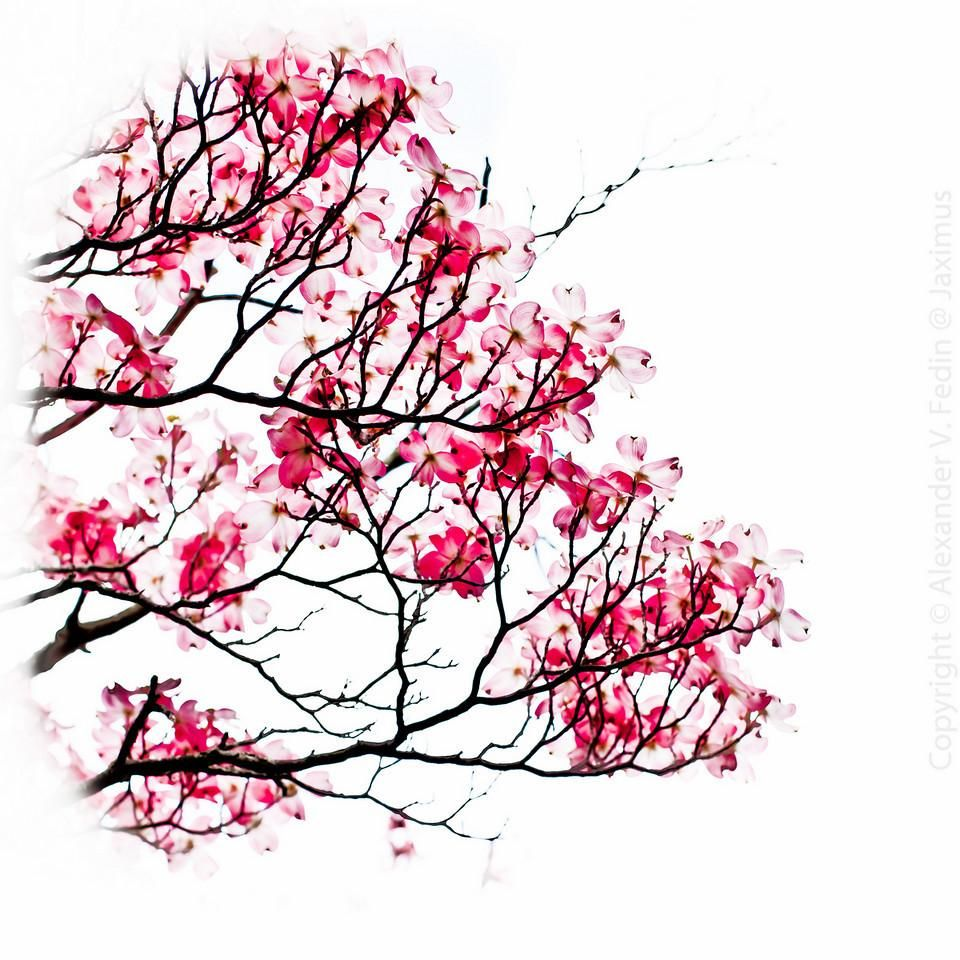 traditional japanese cherry blossom