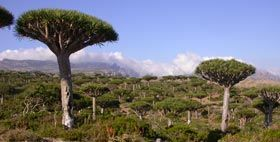 Socotra Governance & Biodiversity Project - Socotran Plants
