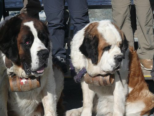 What S In The Barrel Around A Saint Bernard S Neck St Bernard