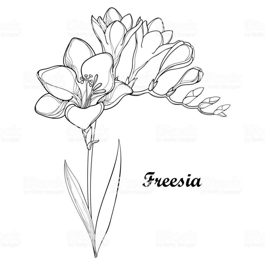 Pin By Britt Janssen On Tattoo In 2020 Freesia Flowers Flower Drawing Fresia Flower