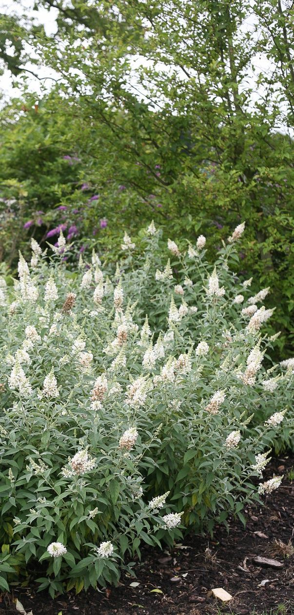 Picture of Live Butterfly bush (white) aka Buddleia dav. 'Silver Frost' Plant Fit 1 Gallon Pot