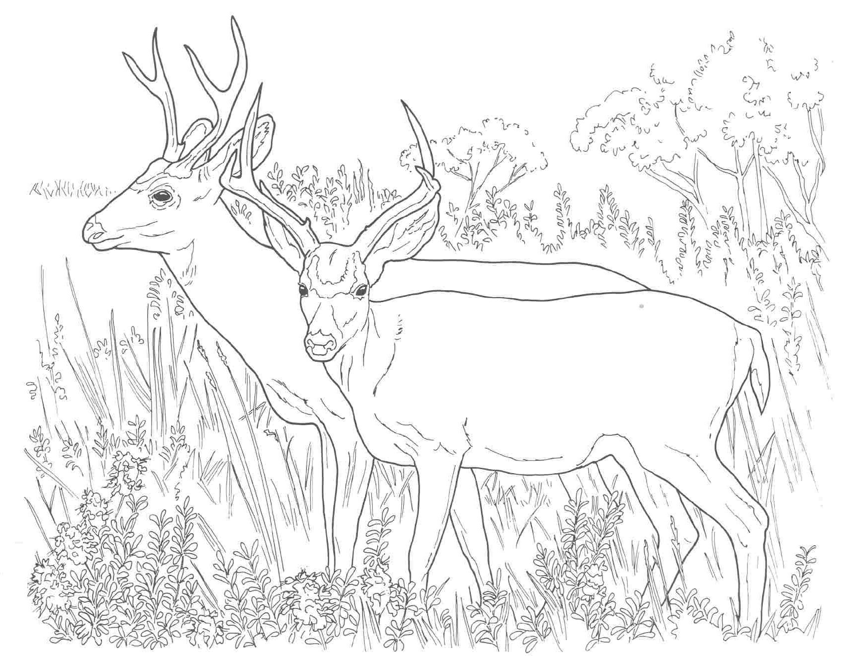 animal coloring pages mule deer - Deer Coloring Pages