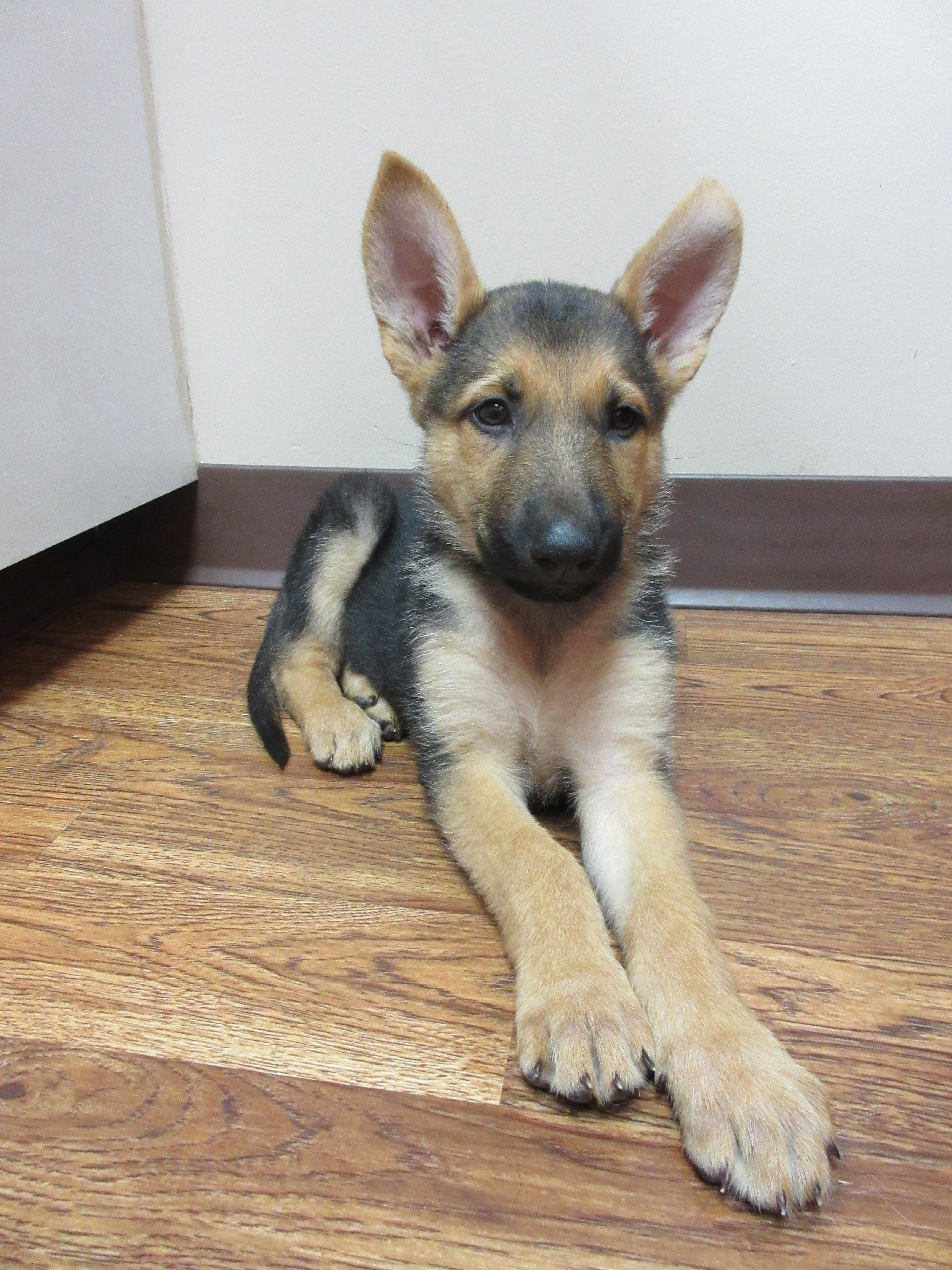 Lexi Is An 8 Week Old German Shepherd Pet Care Dogs Funny Dogs