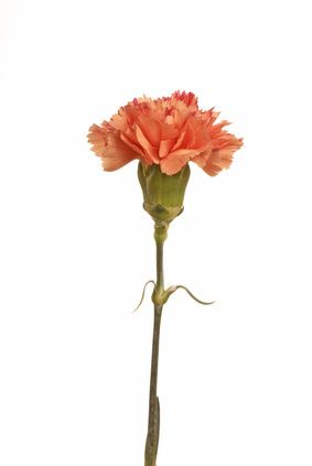 Meaning Of Carnation Colors Carnation Flower Carnation Flower Tattoo Carnation Colors