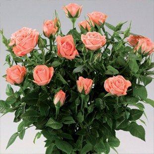 Parade Miniature Rose Renata Pink Flowers Dark Shiny Leaves Hardy Continuous Flowering 15 X 15 Arreglos Florales Hermosos Fondos De Pantalla Arreglos