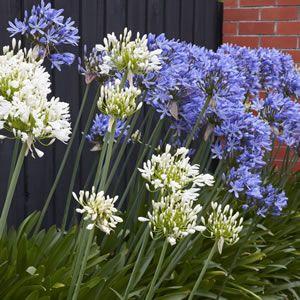 Agapanthus Blue White Blend Agapanthus Blue Garden Express Perfect Plants