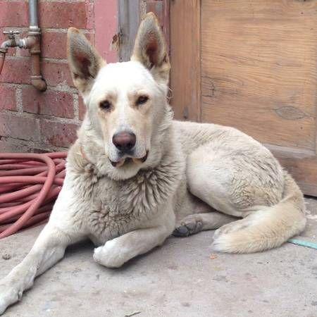 Found Large White Tan Dog Shepherd Mix Los Angeles Phrzm 4483948638 Comm Craigslist Org C Craigslist Map Data C Op White Shepherd Dogs Gentle Giant