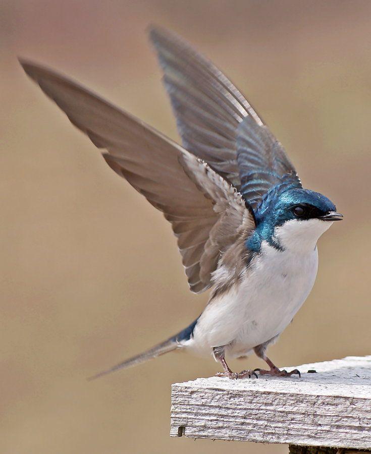Tree Swallow by cheryl smith, via 500px~cl