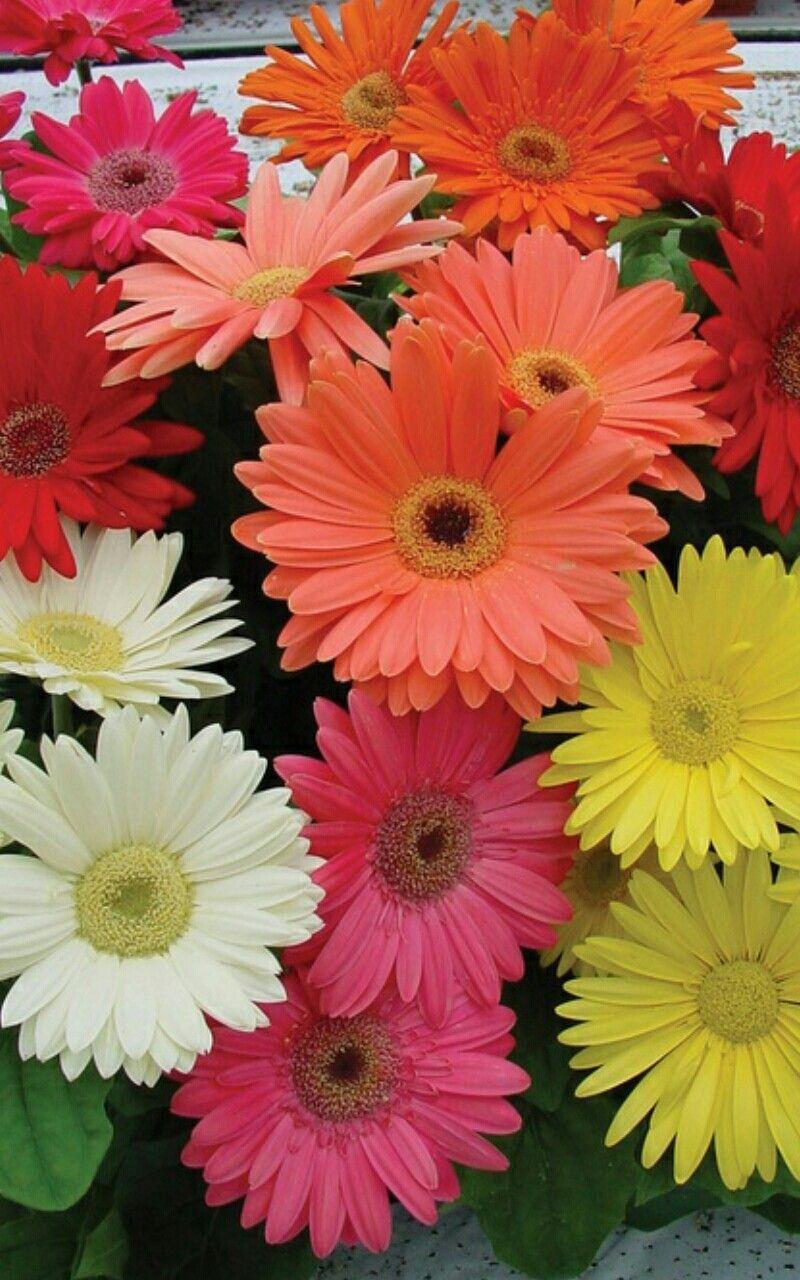 Pin by anna on beautiful flowersszp virgok pinterest flowers gerber daisy seeds in lawn and garden supplies izmirmasajfo
